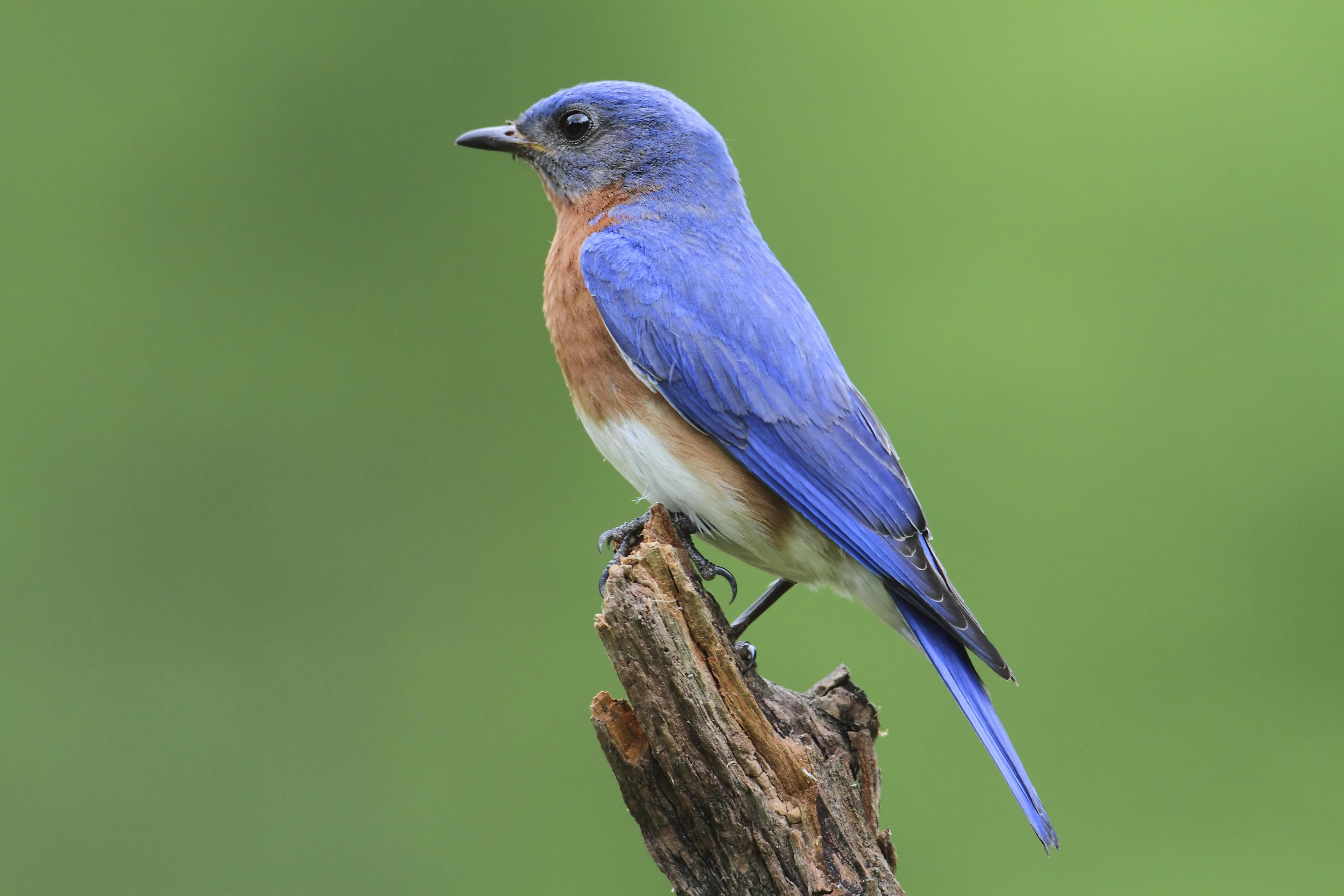 Blue bird - photo#25